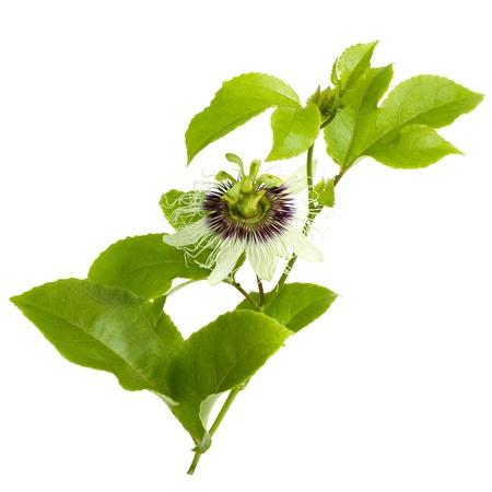 pasion: Flor de fruta de la pasi�n y la deja aislado en blanco con trazado de recorte