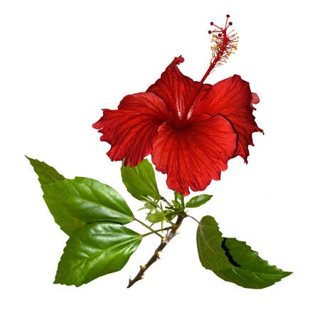 Tropical red hibiscus flower Stock Photo