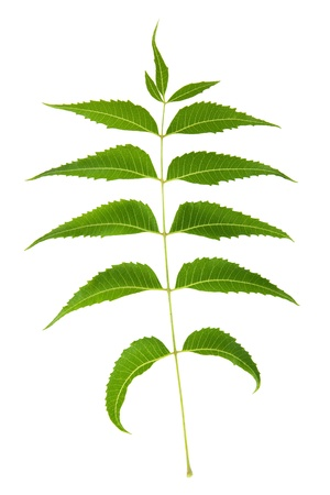 Neem Leaf Sacred Ayurvedic Remedy and Popular Organic Pesticide