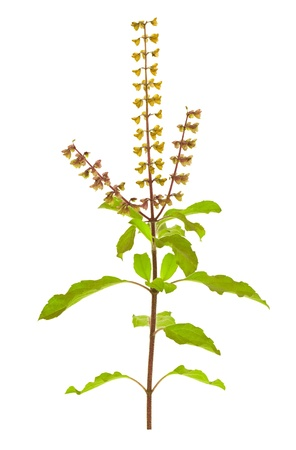 krishna: Saint Basil ou Tulsi avec des graines et des fleurs, un remède sacré ayurvédique isolé Banque d'images