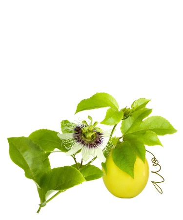 Passion Fruit on the vine with flower isolated on white with space for text photo