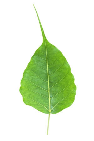 Bodhi or Peepal Leaf from the Bodhi tree, Sacred Tree for Hindus and Buddhists   photo
