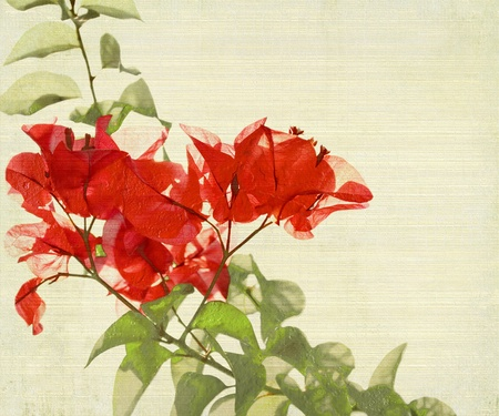 Red Bougainvillea Branch on Bamboo Textured Background photo