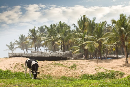 india cow: Tropical cow grazing near the beach with fishing boats in the background in Kerala India Stock Photo