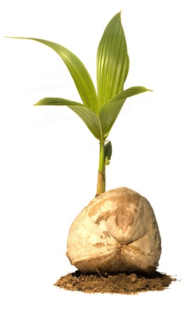 coconut seedlings: Coconut Tree (Young) in Earth