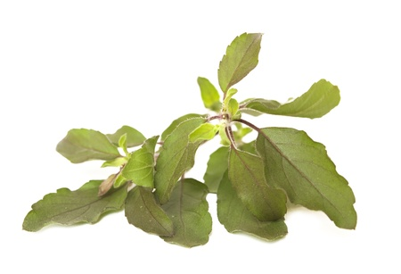 tulasi: Sprig of Holy Basil  Tulasi Isolated on White Stock Photo