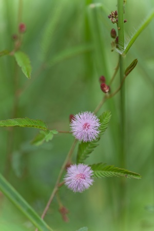 Image of Pink Mimosa Pudica on Natural Background photo