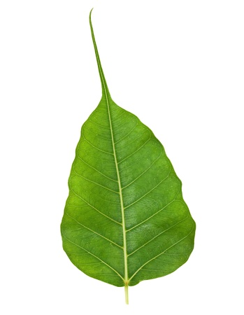 Bodhi or Sacred Fig Leaf Isolated on White Stock Photo - 11018083
