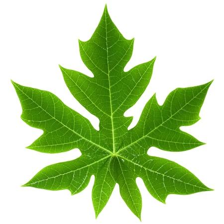 papaya tree: Close-up of a Papaya Leaf Isolated on White Stock Photo