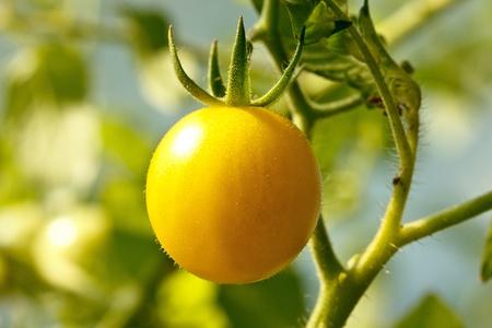 Fresh round yellow tomatoe on the plant
