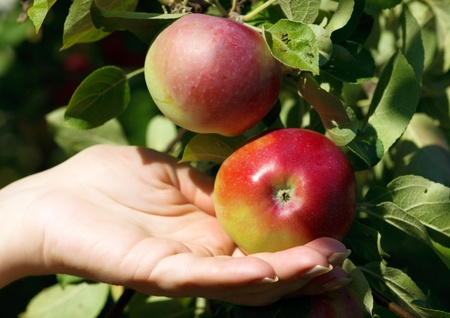 Closeup , a hand picking a red apple from an apple tree Stock Photo