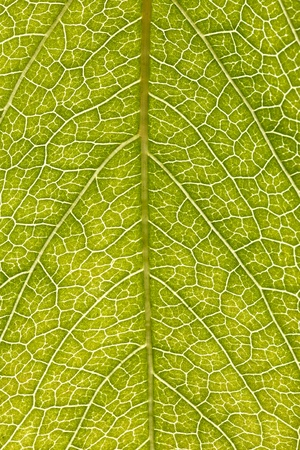 green leaf texture and background, closeup, macro Stock Photo