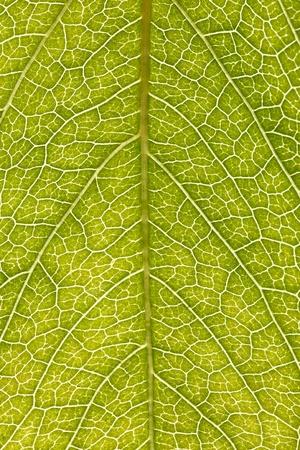 green leaf texture and background, closeup, macro Stok Fotoğraf