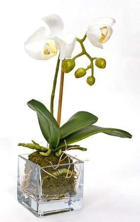 white orchid in vase on white background