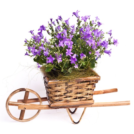 violet flowers in basket isolated on white Stock Photo