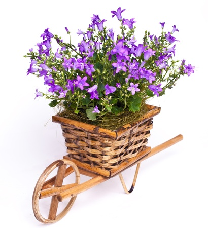 violet flowers in basket isolated on white Stok Fotoğraf