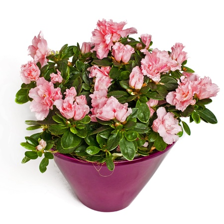 rose flowers in flowerpot isolated on white