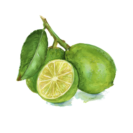 lime green: three lime green on a branch. citrus isolated. watercolor technique