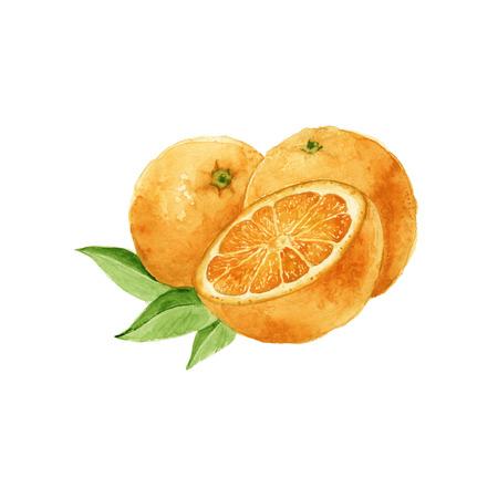 naranja: naranjas res. en la sección. aislado. acuarela