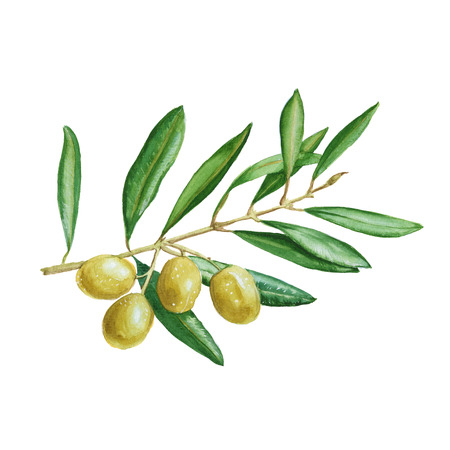 olive branch with green berries. isolated. hand painted watercolor