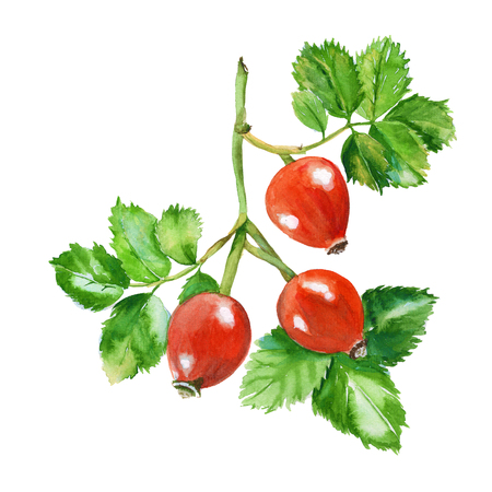 dogrose: rosehip branch. three berries on a branch with leaves. isolated. hand-painted watercolor