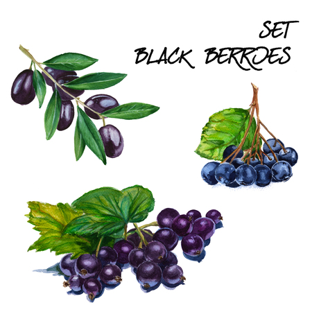 black olive: Set with black currant, mountain ash and black olive branch. isolated. hand-painted watercolor