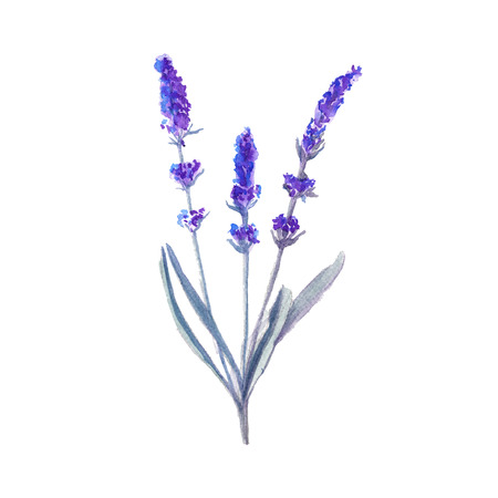 lavender flower. inflorescence with a stem. isolated. watercolor illustration Banco de Imagens