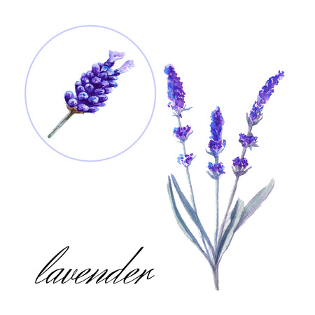 inflorescence: lavender flower. inflorescence with a stem. isolated. watercolor illustration Stock Photo