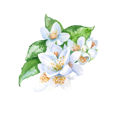 jasmine flowers branch with leaves. isolated. watercolor illustration. Stock Photo
