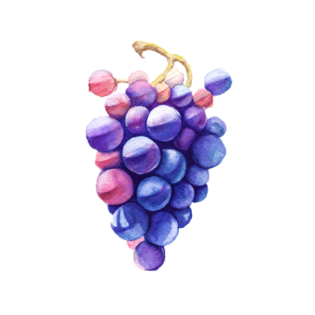 grapes in isolated: Branch of pink grapes. Wine grapes. Isolated on a white background. Watercolor illustration. Stock Photo