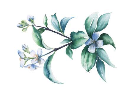 Branch of white Jasmine. Isolated on a white background. watercolor illustration.