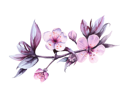 Branch with pink cherry flowers. Isolated on a white background. watercolor illustration. Фото со стока