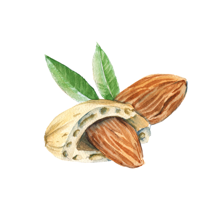 Two almond kernels in the shell. Isolated on a white background. Watercolor illustration.
