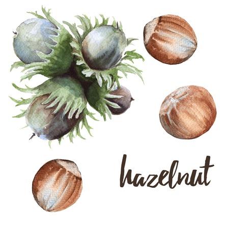 cobnut: Set nut hazelnuts. Isolated on white background. Watercolor illustration.
