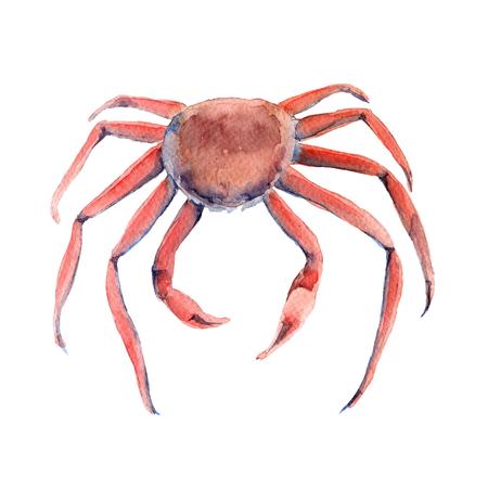 crab legs: Crab. Marine animal. Isolated on white background. Stock Photo