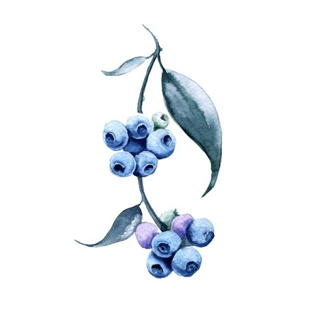 Branch with blueberries. Isolated on white background. Watercolor illustration.
