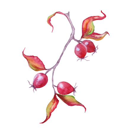 Branch with rose hips. Isolated on white background. Watercolor illustration.