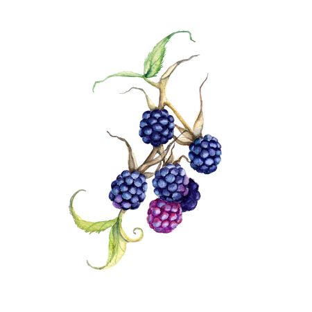 dewberry: Blackberry on a branch. Isolated on white background. Watercolor illustration