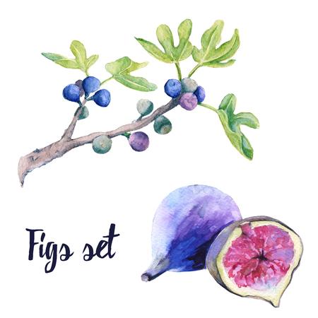 Vruchten van een vijg en een tak in een set. Geïsoleerd op witte achtergrond Aquarel illustratie. Stockfoto