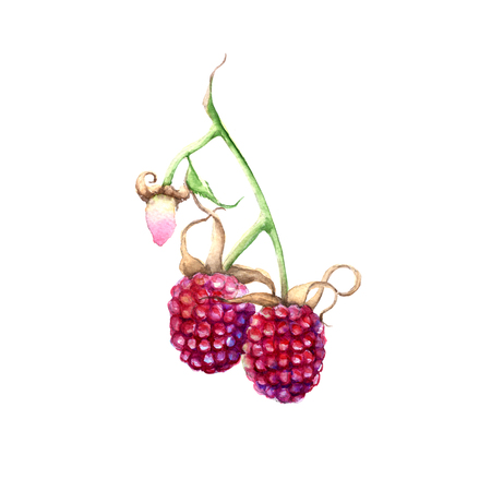 Raspberry on a branch. Isolated on white background. Watercolor illustration