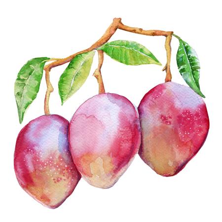 枝に 3 つのマンゴー果実。白い背景上に分離。水彩イラスト。