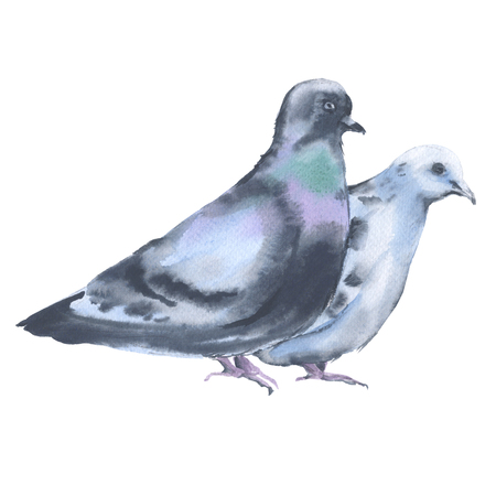 Two dove. Isolated on white background. Watercolor illustration