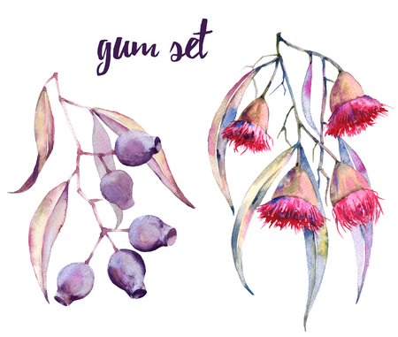Branches of gum with flowers and nuts. Isolated on white background. Watercolor illustration.