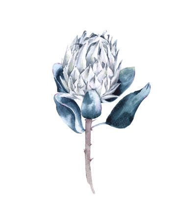 Flower of white protea. Isolated on white background. Watercolor illustration. Stock Photo