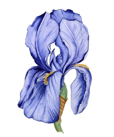 アイリスの花。白い背景上に分離。水彩イラスト。