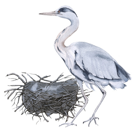 Gray heron and nest. Isolated on white background. Watercolor illustration