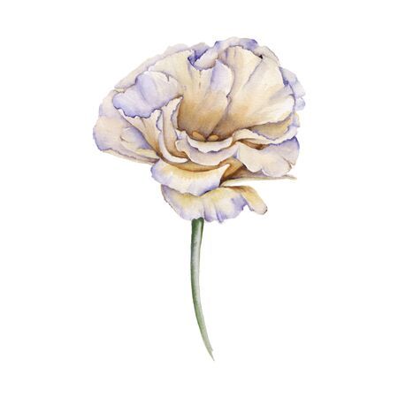 White Rose. Eustoma. Isolated on a white background. Watercolor illustration Stock Photo