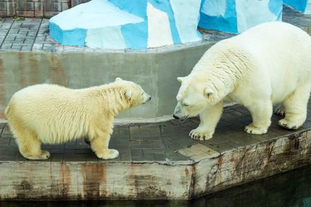 herbivores: polar white bear