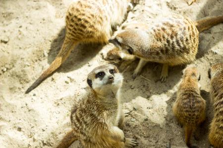 herbivores: meerkats Stock Photo
