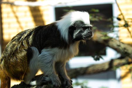 suspenso: mono grueso en suspenso